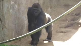 動物園はフランクに将来のサファリパークのファミリーシルババックにな...