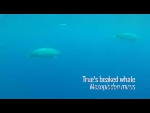 First footage of True's beaked whales underwater