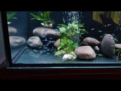 Neon Tetra In Goldfish Tank. DAY 2