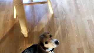 Baxter Beagle Dinner Time Pt2