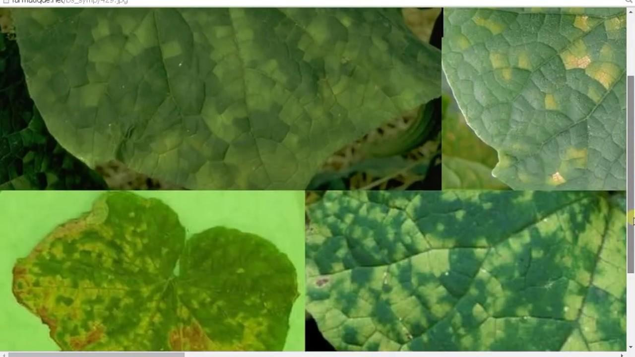 Maladies de concombre et de cornichon youtube - Maladie de la courgette ...