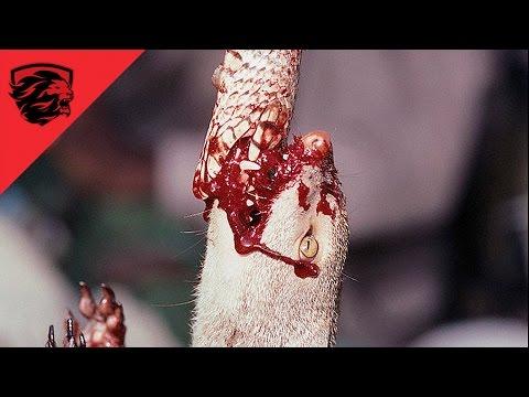 ► Mongoose vs Snake - epic animal fight - 2016