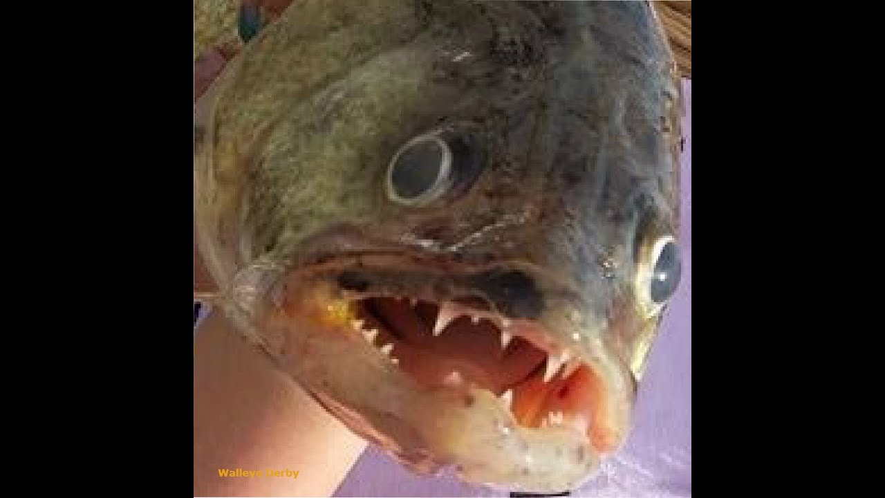 Walleye Ice Fishing Lake Erie - Underwater Fish Strike ...  Walleye Ice Fis...