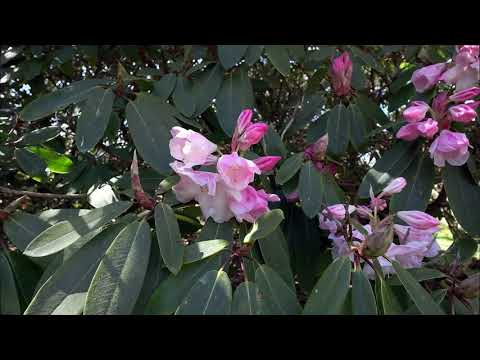 Rhododendron paradise and more! - Caerhays Castle