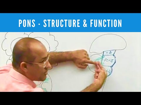Pons - Structure & Function - Neuroanatomy