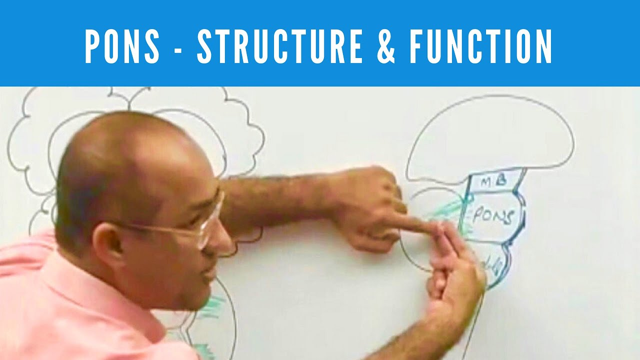 Pons - Structure & Function - Neuroanatomy - YouTube