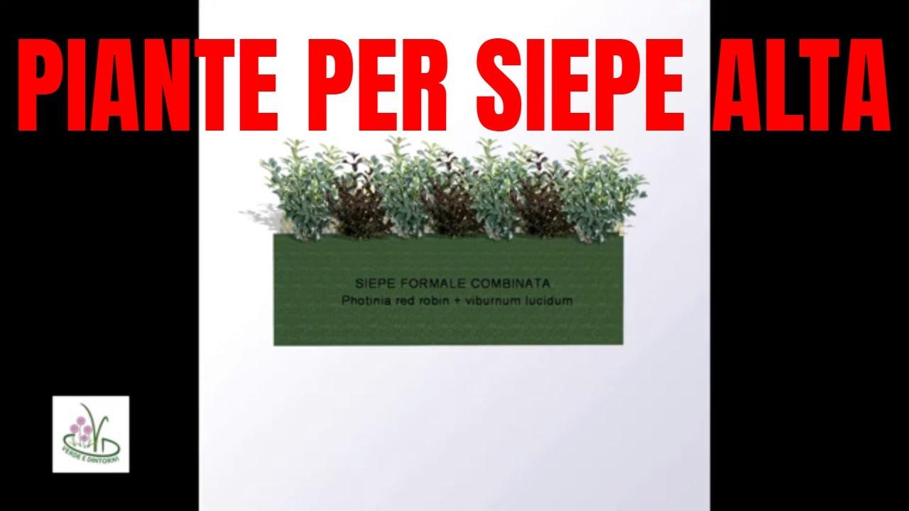 Piante Siepe Crescita Rapida piante da siepe a crescita veloce