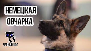 Немецкая овчарка / Интересные факты о собаках