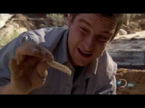 Bear Grylls Eats Giant Beetle Larva