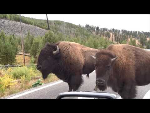 Bison Drive-thru in Yellowstone