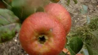 Apple Variety Orleans Reinette