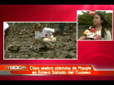 Claro sembró plántulas de mangle en Estero Salado del Guasmo
