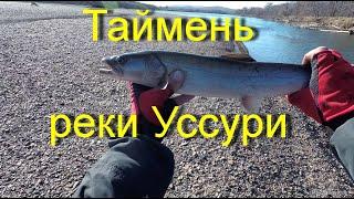 Таймень реки Уссури октябрь 2019