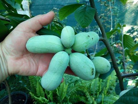"""""""Банановое дерево"""" для умеренного климата - азимина. Выращивание в контейнерах."""