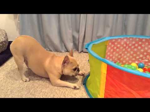 Dog Vs Ball Pool (Pressy from Santa 2015)