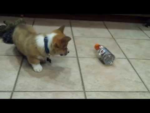 Corgi Puppy vs. Plastic Bottle