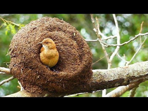 Burung-Burung Dengan Sarang Paling Unik Dan Menakjubkan