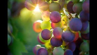 Виноградная диета на 4 дня - минус 3 кг.