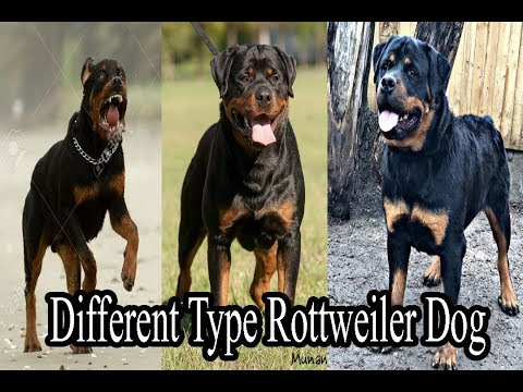 Different Type Rottweiler Dog Breeds