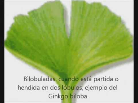 Bienfaits Ginkgo Biloba - Quelques trucs pour améliorer la mémoire de votre ...