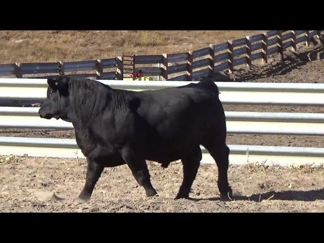 Connealy Angus Lot 99