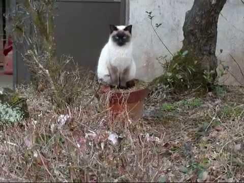 Siamese cat and flowerpot シャム猫ちゃんと植木鉢【いなか猫765】japanese funny cat