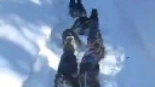 Miniature Schnauzer Dog Sledding