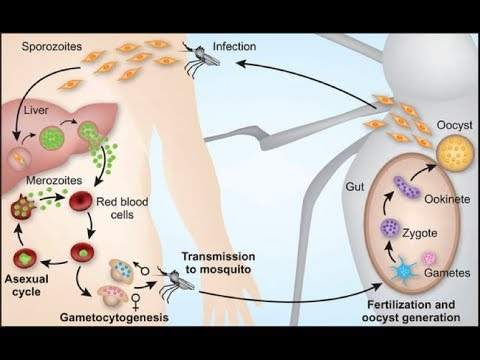 Life cycle of Plasmodium Meritnation Malaria Fever