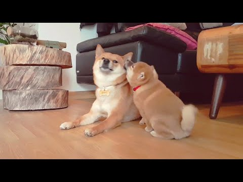 Purest dog & puppy love / Shiba Inu
