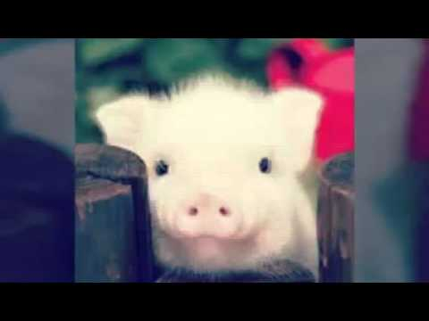 Cute pictures of baby pigs - YouTube