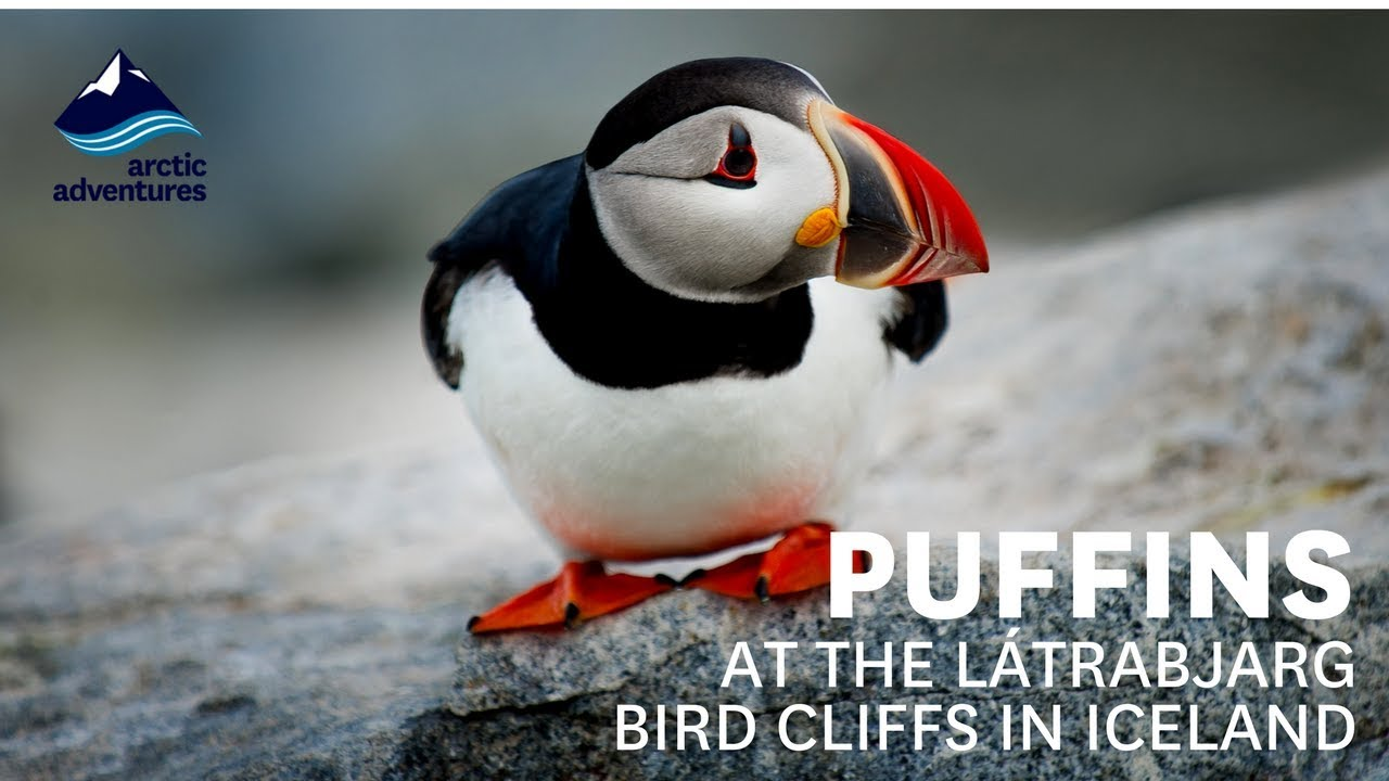 Everything You Need to Know About Puffins in Iceland | All