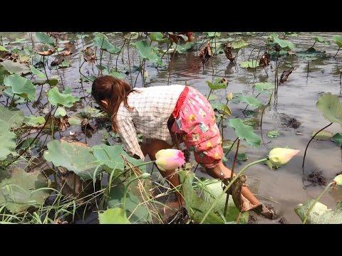 Harvesting Of Lotus Root In Lotus Flower Lake  - Kampong Cham Province, Cambodia