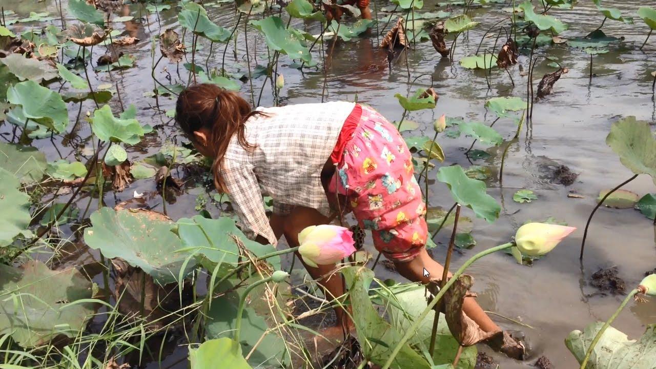 Harvesting Of Lotus Root In Lotus Flower Lake Kampong Cham
