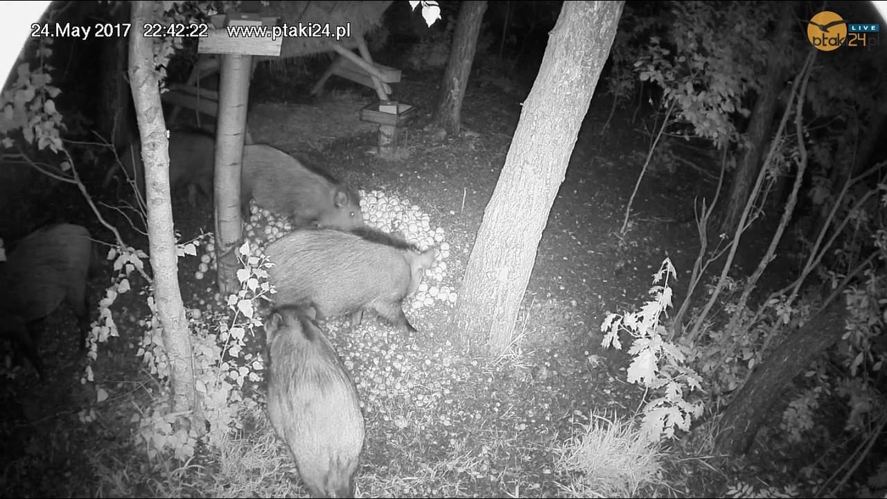 Dziki na przekąsce w karmisku dla dzikich zwierząt w lesie na Podkarpaciu