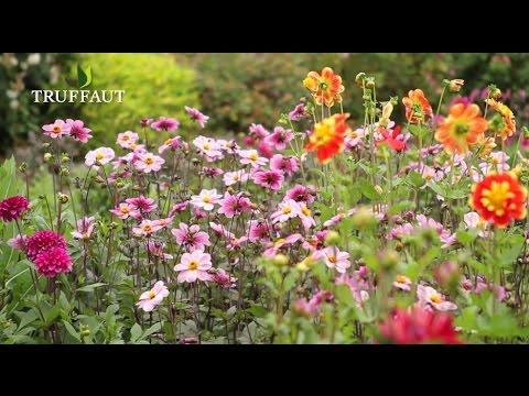 Comment Conserver Les Bulbes De Dahlias Jardinerie Truffaut Tv
