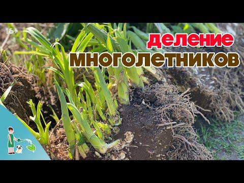 Как делить и размножать многолетние растения