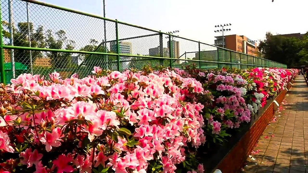 淡淡的三月天杜鵑花開在校園上 - YouTube