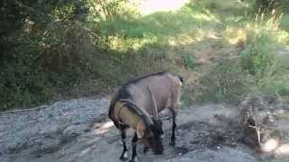 Walka moich kóz / Fight of my goats