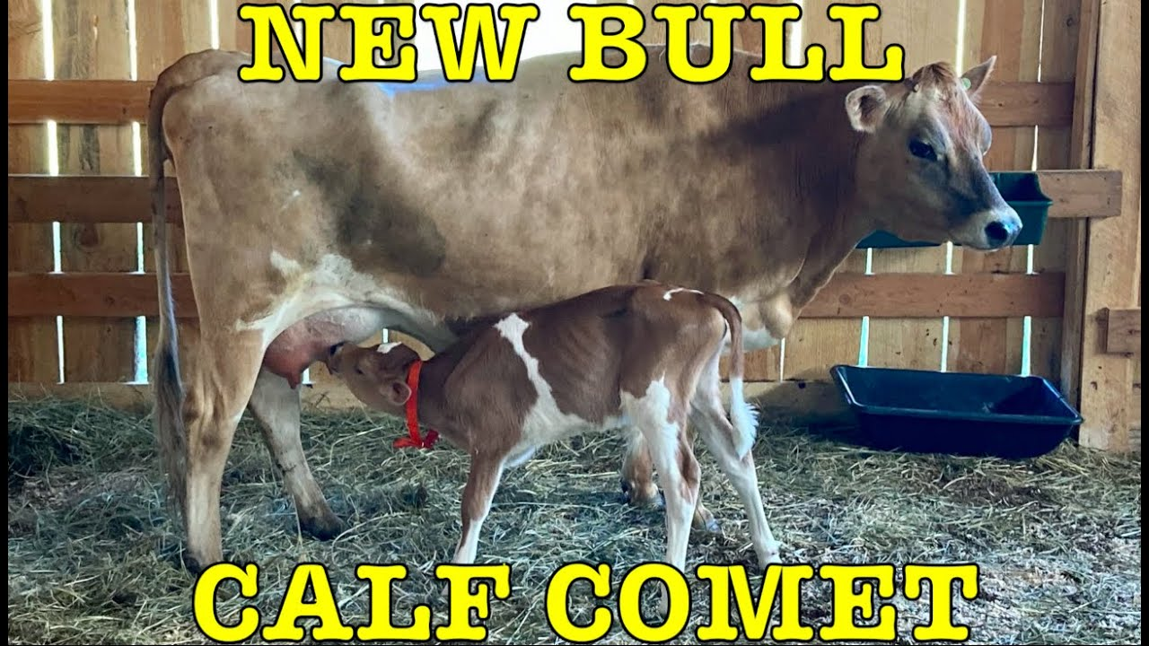 New bull calf named Comet born on our dairy farm