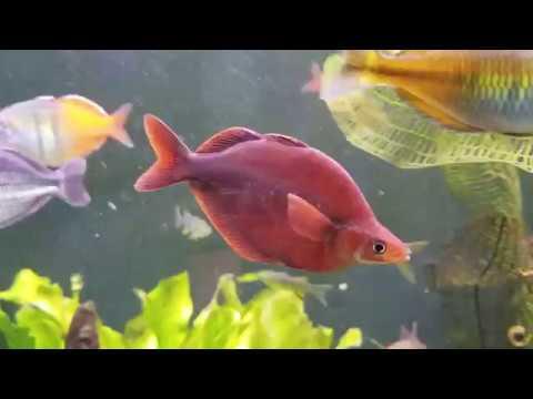 Millennium Rainbows At Escape Aquatics Fish House!