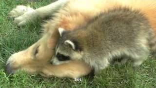 Raccoon VS Dog