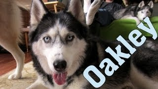 Zapętlaj We have NEWS!!  Say Hello to Oakley!  That's Right!!  Another Siberian Husky! | Gone to the Snow Dogs