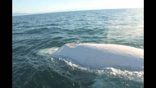 Migaloo the White Whale Encounter