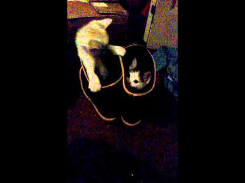 5 week old kittens playing inside rain boots