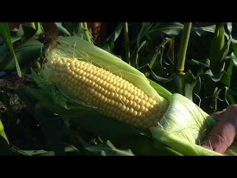 Как определить молодая кукуруза или старая