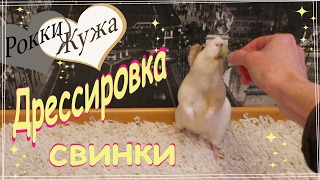 Дрессировка морских свинок. Training guinea pig.