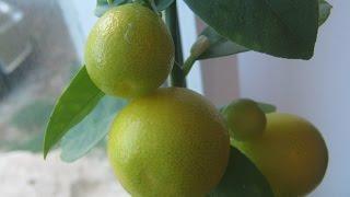 Плодоносний Фукуші Кумкват (Fortunella obovata)