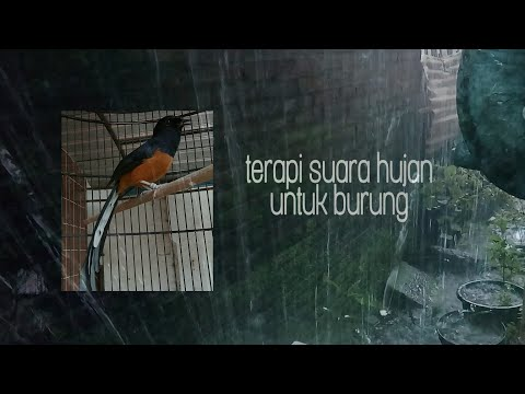 TERAPI SUARA HUJAN Untuk Burung Agar Gacor - Terapi Burung Stress/drop