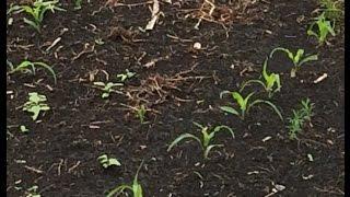 Посевы кукурузы 2016 часть 2 (действие гербицыда)