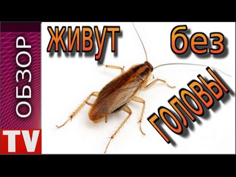 ПУШКИНО Тараканы Живут  Даже без  Головы